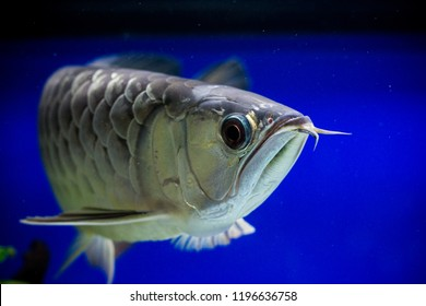 Asian gold arowana fish  face close up in a blue background