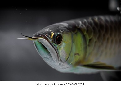 Asian gold arowana fish  face close up in a black background