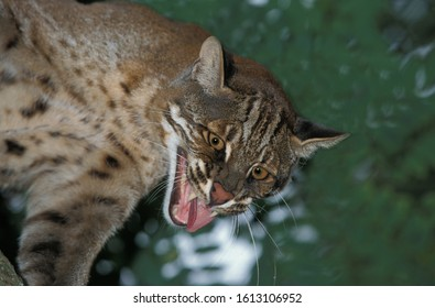 ASIAN GOLDEN CAT OR TEMMINK'S CAT catopuma temmincki, ADULT GROWLING