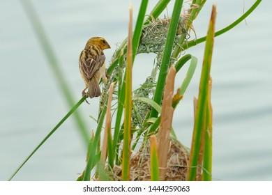 Female Weaver Bird Images, Stock Photos & Vectors | Shutterstock