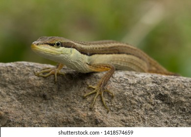 Asian grass lizard, six-striped long-tailed lizard, or long-tailed grass lizard (Takydromus sexlineatus)