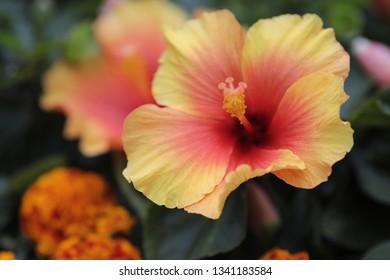 Hibiscus Rosa Sinensis Images Stock Photos Vectors Shutterstock