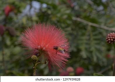 asian honey bee worker feeding on flowers in Sundarbans, West bengal, India.
