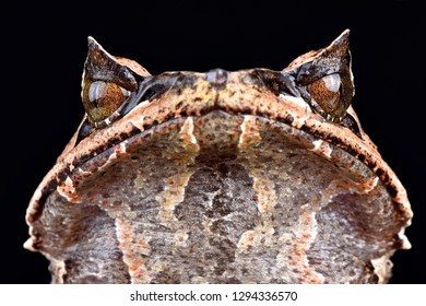 Asian horned frog (Megophrys montana)