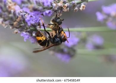 asian hornet killing a bee