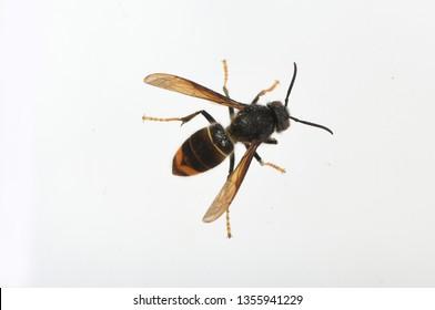 asian hornet on a white background