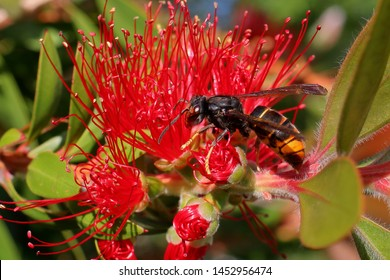 Asian hornet  wasp on red flower