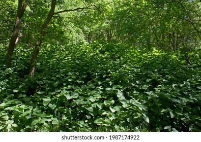Asian knotweed, an invasive species, a pest in forestry, overgrows all vegetation in a forest