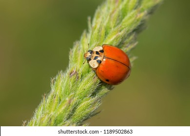 Asian Ladybeetle clinging to a grass seed pod. Also known as a Harlequin Ladybird and Multicolored Asian Beetle. High Park, Toronto, Ontario, Canada.