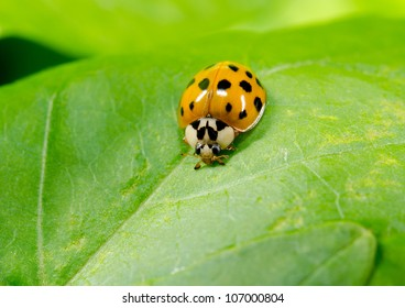 asian ladybird portrait, lightly colored variant