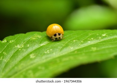 Asian ladybug beetle, (harmonia axyridis) on a plant stem are usually larger than most of the species.