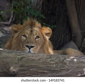 An Asian lion, lying behind the fallen tree. Ambush of the King of beasts. Stare of one of the most dangerous and beautiful beasts.