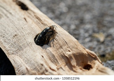 Asian longhorn beetle (Anoplophora glabripennis) is stuck in the wood of a maple tree