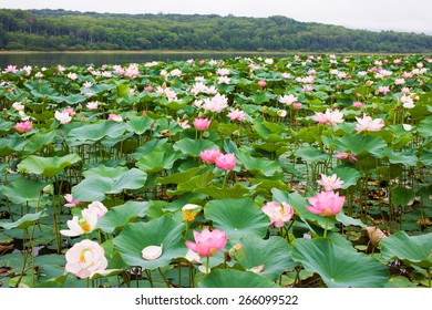 Asian Lotus grows in the lake. Valley of lotuses Oriental in pond. Symbol of Buddhism. Ancient flower - biological additive.