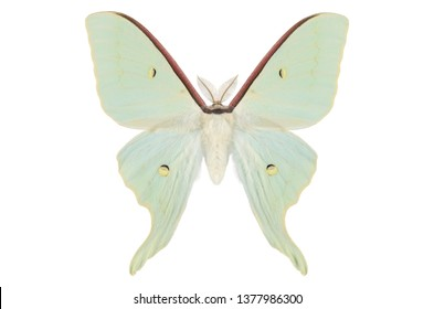 Asian Luna Moth from China (Actias artemis) isolated on white background