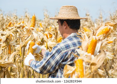 Asian Male Farmer worker analyze Sweet Corn Cob in Field or Nature Cornfield Farm as Agriculture Lifestyle Concept.
