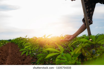 asian male farmer working in manioc farm To collect data to study and develop his farm to improved productivity in the future.Good farming Theory of Asia.