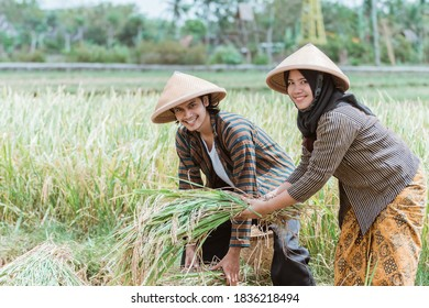 Asian male and female farmers help each other lift the rice plants that have been harvested after harvesting together in the fields