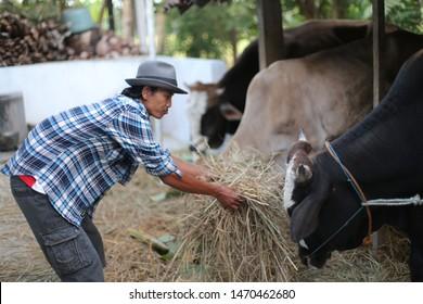 asian man with cow on farming. yogyakata indonesia. august 5, 2019.