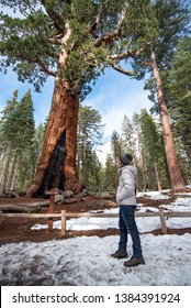 Asian man tourist looking at Grizzly Giant, a giant sequoia in Mariposa Grove, located in Yosemite National Park. Winter travel concept