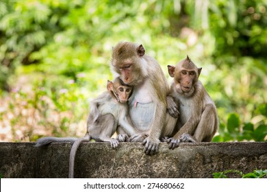 Asian monkey with its baby from Thailand