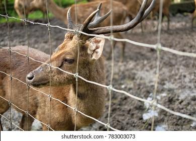 asian moose 2