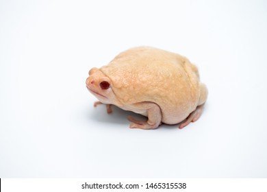 Asian narrow mouth toad on white background.