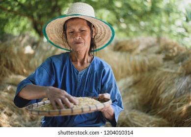 Asian old woman farmer show paddy form her farm.