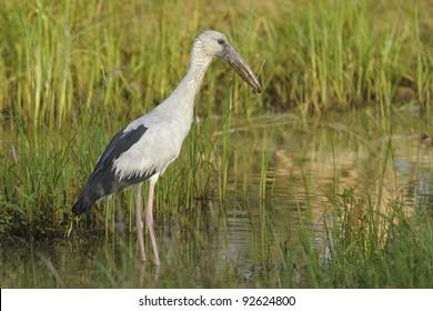Asian Open bill stork in his natural habitat