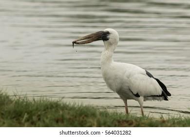 Asian Openbil is a big bird in Thailand.