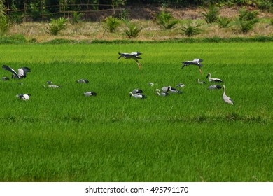 Asian openbill birds living in the field,