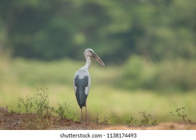 Asian openbill in the rice field