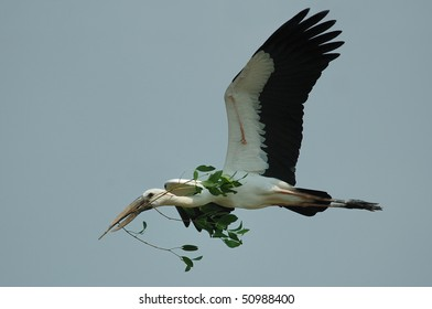 Asian Openbill Stork carrying nesting material in Thailand