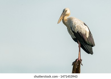 Asian openbill stork perching on a stump, looking into a distance