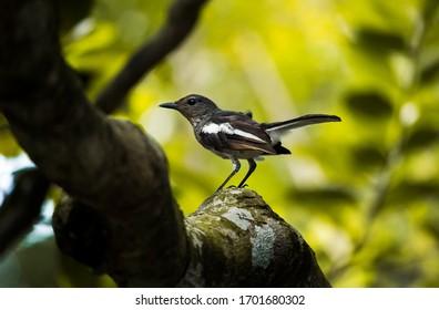 Asian oriental Magpie Robin Bird ,Also Bangladesh's National Bird