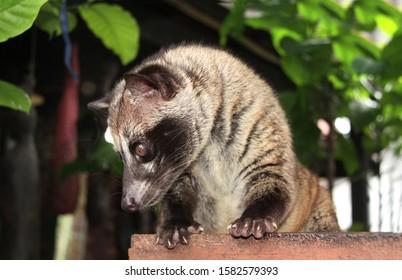 Asian Palm Civet (Civet cat). Produces Kopi luwak. Luwak Coffee is world most expensive coffee