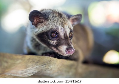Asian Palm Civet  produces Kopi luwak