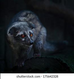 Civet Cat Images, Stock Photos & Vectors | Shutterstock