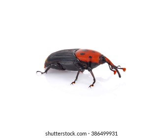 Asian palm weevil on white background