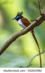 Asian paradise flycatcher in Minneriya national park, Sri Lanka ; specie Terpsiphone paradisi family of Monarchidae