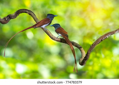 Asian Paradise Flycatcher ,Pair of birds