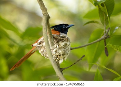 Asian Paradise Flycatcher (Terpsiphone paradisi) from Koshi Tappu Wildlife Reserve, Eastern Nepal.