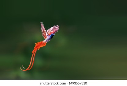 Asian Paradise-Flycatcher flying in the sky