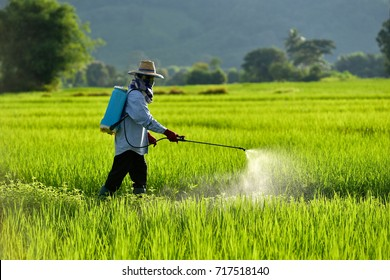 Asian peasantry spraying pesticides in rice fields