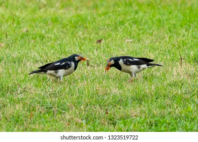 Asian Pied Starling finding grown worm on a lawn