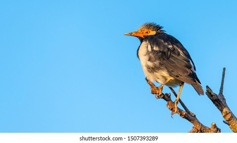 Asian Pied Starling perching on a perch looking into a distance with blue sky background