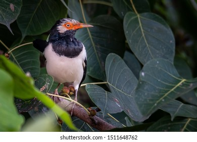Asian Pied Starling perching on Bo tree perch looking into a distance