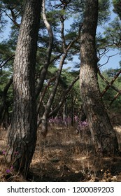 Asian pine forest, Asian pine woods