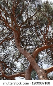 Asian pine tree