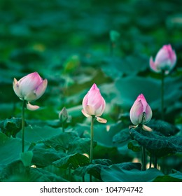 Asian Pink Lotus Flowers in the Pond